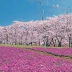 代々木公園のお花見の場所取りで良い場所を取る時間とコツ!マナーやルールは?