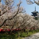 仁和寺の御室桜の見頃はいつ?バスアクセス方法と2017ライトアップ情報
