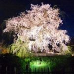 京都しだれ桜お花見の名所・円山公園の桜の見頃とライトアップ時間