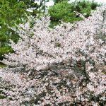 京都御苑の桜の見頃はいつ?桜開花時期と周辺のおすすめスポット