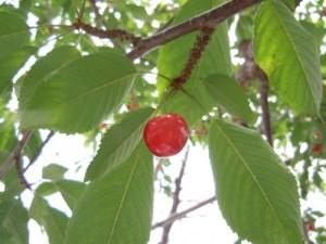 cherry-picking-yamanashi