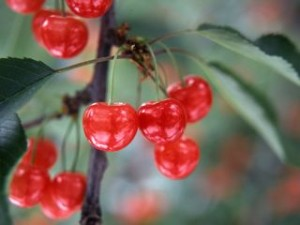Yamagata-cherry