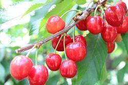 cherrypicking-aichi