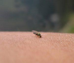 夏の危険な虫刺され、ブヨをご存知ですか?