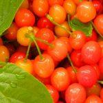 群馬のさくらんぼ狩りおすすめの時期と沼田市の人気食べ放題果樹園