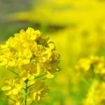 菜の花の花言葉の意味と由来!英語や韓国の呼び方は?