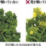 菜の花(食用)に栄養はあるの?カロリーと菜の花の効能とは