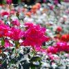 荒牧バラ公園2018の見頃と開花情報!駐車場とアクセス方法も