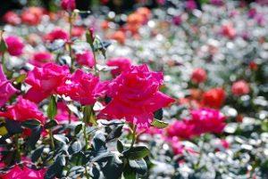 aramaki_rose