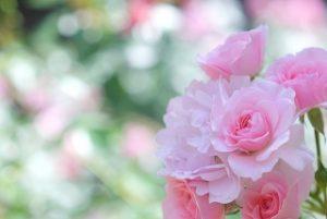 yoshiumi_rose