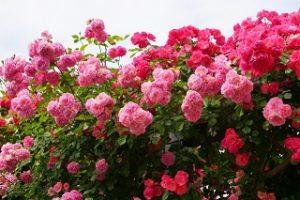 keisei_rose