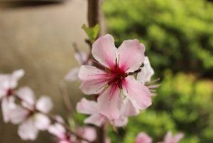 almond_flower