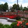 荒牧バラ公園2016の見頃と開花情報!駐車場とアクセス方法も