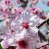 アーモンドの花の花言葉と桜にそっくりな理由とは