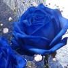 青いバラの花言葉とは?不可能を可能にするメッセージ文例付