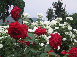 東沢バラ公園バラの花