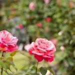 東沢バラ公園2017の見頃と開花状況は?アクセスと駐車場