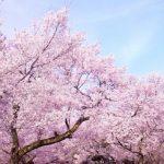 みなみの桜と菜の花まつり2016の見頃と開花状況は?アクセスと駐車場