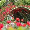 東沢バラ公園2016の見頃と開花状況は?アクセスと駐車場