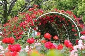 higashizawa-rose