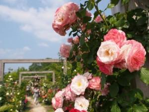花フェスタ記念公園バラ