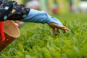 tea-picking