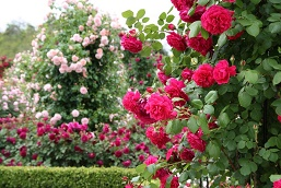 sennan-rose