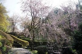 蘭丸ふる里の森桜