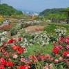 花フェスタ記念公園2016のバラまつり春秋の見頃は?割引はある?