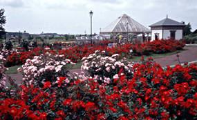 iwamizawa-rose
