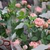 ミニバラの育て方!植え替えの時期(夏冬)と手順や土の選び方