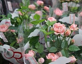 miniature-roses