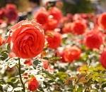 バラの害虫対策!ハダニ、アブラムシ、カイガラムシの予防と駆除