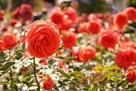 rose-pest