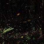 蛍の季節と見頃はいつ?光る時間帯は何時?