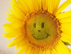sunflower-language-of-flowers