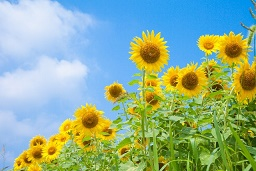 takanabe-sunflower
