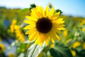 hokuryu-sunflower