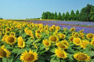 serakougen-sunflower