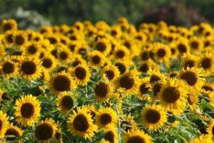 yanagawa-sunflower
