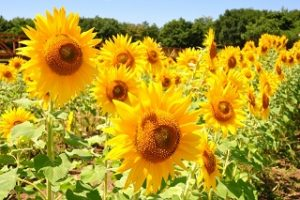 zama-sunflower