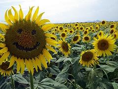 kasaoka-sunflower