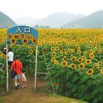 兵庫県佐用町南光ひまわり2016の見頃と開花状況は?