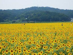 tochigi-mashiko-sunflower