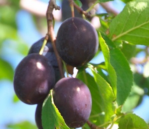 prune-how-to-eat